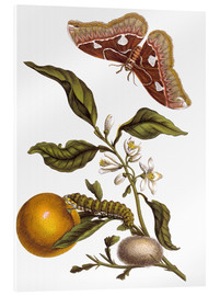 Akrylglastavla  Orange and moths - Maria Sibylla Merian