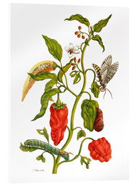 Akrylglastavla  Peppers and insects - Maria Sibylla Merian