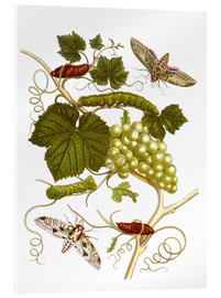 Akrylglastavla  Vine and moths - Maria Sibylla Merian