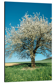 Aluminiumtavla  Blossoming cherry tree in spring on green field with blue sky - Peter Wey