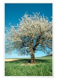 Premiumposter Blossoming cherry tree in spring on green field with blue sky