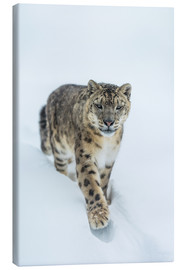 Canvastavla  Snow Leopard in deep snow - Ingo Gerlach