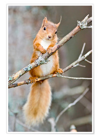 Premiumposter  Red squirrel on a branch - Duncan Shaw