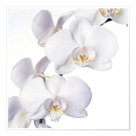 Premiumposter  Orchid flowers - Johnny Greig