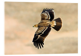 Akrylglastavla  Eastern imperial eagle in flight - M. Schaef