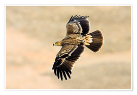 Premiumposter  Eastern imperial eagle in flight - M. Schaef
