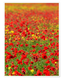 Premiumposter Field Poppy (Papaver rhoeas)