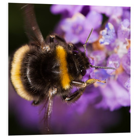 PVC-tavla  Bumble bee collecting pollen - Power and Syred