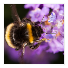 Premiumposter  Bumble bee collecting pollen - Power and Syred
