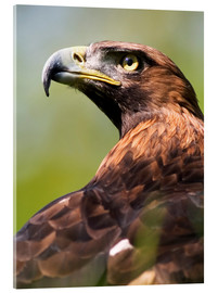 Akrylglastavla  Golden eagle - Denise Swanson