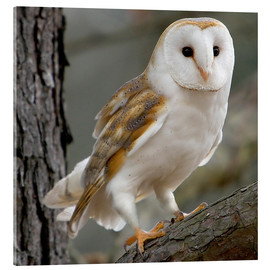 Akrylglastavla  Portrait photograph of a Barn Owl - Linda Wright
