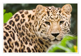 Premiumposter  Amur leopard - Power and Syred