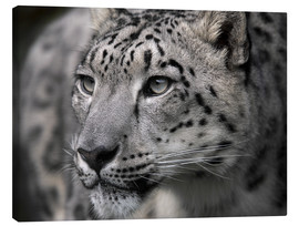 Canvastavla  Snow leopard - Linda Wright