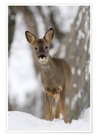 Premiumposter  Roe deer in winter - Duncan Shaw