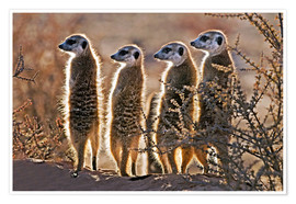 Premiumposter  Meerkats on guard duty - Tony Camacho