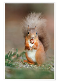 Premiumposter Red squirrel eating a hazel nut