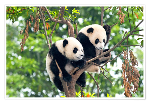 Premiumposter Young Pandas in a tree