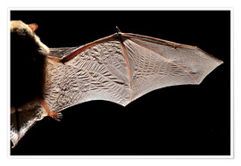 Premiumposter  Common pipistrelle bat wing - Alex Hyde