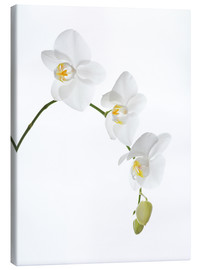 Canvastavla  Orchid flowers (family Orchidaceae) - GAVIN KINGCOME