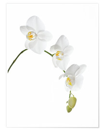 Premiumposter  Orchid flowers (family Orchidaceae) - GAVIN KINGCOME