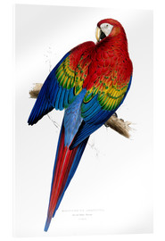Akrylglastavla  Red & Yellow Macaw - Edward Lear