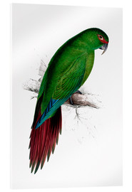 Akrylglastavla  Long billed Parakeet Macaw - Edward Lear