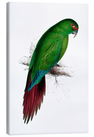 Canvastavla  Long billed Parakeet Macaw - Edward Lear