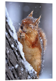 PVC-tavla  Red squirrel in winter - Ervin Kobakçi