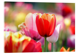 Akrylglastavla  Beautiful colorful Tulips - Lichtspielart