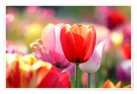 Premiumposter  Beautiful colorful Tulips - Lichtspielart