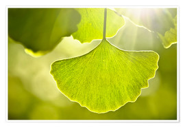 Premiumposter Ginkgo leaves