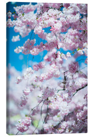 Canvastavla  Cherry blossom in spring - Peter Wey