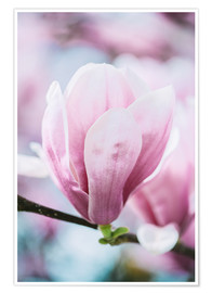 Premiumposter  Closeup of blossoming magnolia in spring - Peter Wey