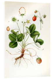Akrylglastavla  Strawberry - Carl Axel Magnus Lindman