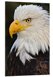 PVC-tavla  Bald Eagles up close - Adam Jones
