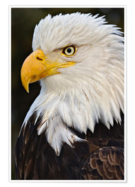 Premiumposter Bald Eagles up close