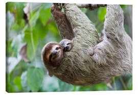 Canvastavla  Brown-throated sloth baby with mother - Jim Goldstein