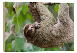 Trätavla  Brown-throated sloth baby with mother - Jim Goldstein
