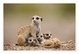 Premiumposter  Meerkat family in Namibia - Paul Souders
