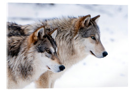 Akrylglastavla  Two Timber Wolves in the snow - Louise Murray