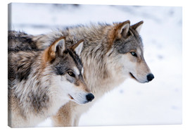 Canvastavla  Two Timber Wolves in the snow - Louise Murray