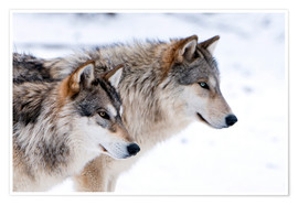 Premiumposter  Two Timber Wolves in the snow - Louise Murray