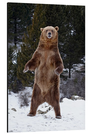 Aluminiumtavla  Grizzly Bear standing in the snow - James Hager
