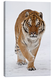 Canvastavla  Siberian Tiger in the snow - James Hager