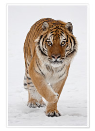 Premiumposter  Siberian Tiger in the snow - James Hager