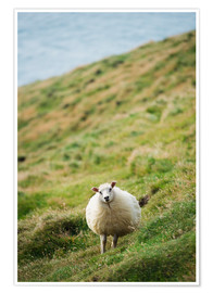Premiumposter Thick sheep, Heimaey Island