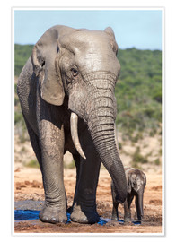 Premiumposter  African elephants (Loxodonta africana) adult and baby, Addo National Park, Eastern Cape, South Afric - Ann & Steve Toon
