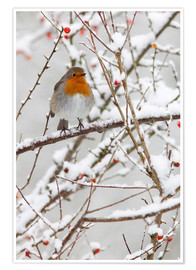 Premiumposter Robin, with berries in snow