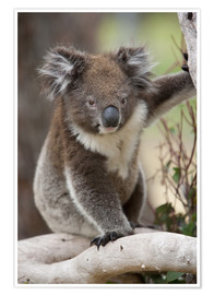 Premiumposter  Koala in eucalyptus tree - Thorsten Milse