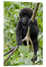Akrylglastavla  Infant mountain gorilla (Gorilla gorilla beringei) from the Kwitonda group climbing a vine, Volcanoe - James Hager